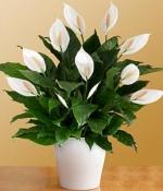 Cam Vazoda Barış Çiçeği (Spatifilyum)