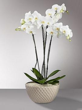 4 Dallı Beyaz Orkide