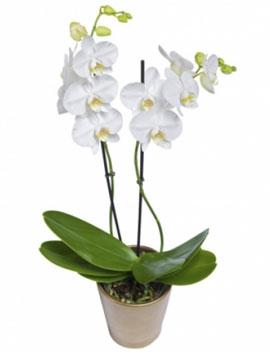 2 li Beyaz Orkide