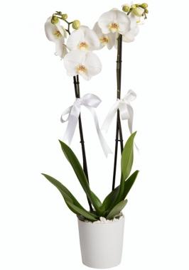 2 Dal Saksı Orkide Çiçeği