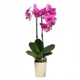 Orkide Çiçek Aranjmanı