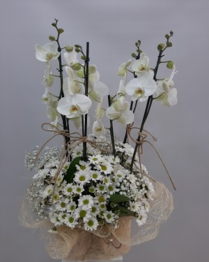 4 lü Orkide Papatya Çiçeği